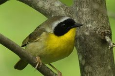 Pacific Northwest birds.  I was just watching this bird.  Tails of Birding: The Black-masked Warbler