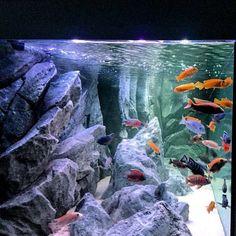 Explore the world of unique aquarium backgrounds. Durable and artistic, made to last, they resemble some of nature's most beautiful aquatic habitats. Goldfish Aquarium, Cichlid Aquarium, Home Aquarium, Aquarium Design, Aquascaping, Aquarium Backgrounds, Salt Water Fish, Freshwater Aquarium Fish, African Cichlids