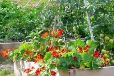 Grow Organic Tomatoes Companion plants for tomatoes: tomato and nasturtium with Tomato Dirt. Tomato Companion Plants, Companion Gardening, Gardening Tips, Container Gardening, Tips For Growing Tomatoes, Growing Tomatoes In Containers, Grow Tomatoes, Baby Tomatoes, Dried Tomatoes