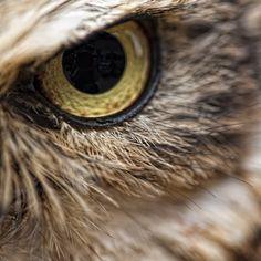 Trendy Close Up Nature Photography Owl Eyes Eye Photography, Animal Photography, Beautiful Eyes, Beautiful Birds, Eye Close Up, Wild Eyes, Horned Owl, Tier Fotos, Mundo Animal