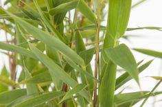 Mähnenbambus  Der Fargesia murieliae 'Simba' (Mähnenbambus oder Löwenbambus) ist ein nicht wuchernder, immergrüner Bambus. Dieser Bambus hat feine, frischgrüne Blätter und bleibt im Winter schön grün. Außerdem ist diese Art sehr winterhart. Der Mähnenbambus ist ein voller, kompakter und buschiger Bambus mit hellgrünen Stängeln. Er eignet sich hervorragend zur Anpflanzung als Hecke, jedoch auch zur Anpflanzung in Gruppen oder als Solitär.