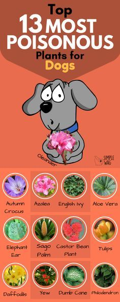 13 most poisonous plants for dogs / All about dog health and medication. How to keep your dog healthy, happy and disease-free. Dog health tips. Dog Health Tips, Dog Health Care, Aloe Vera, Dog Care Tips, Pet Care, Care Care, Pocket Beagle, Dog Information, Poisonous Plants