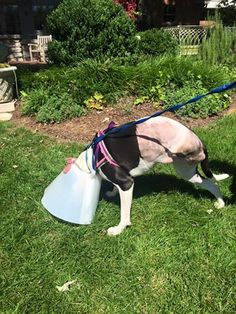 Gidget just had her amputation surgery yesterday and is already doing spectacular. Better then expected. The staff has to slow her down☺ She was on potty break at the vet hospital. While she has recovery and some rehab ahead, she is on the move! I'm so proud of her and her resilience and importantly she will be pain free!!! #tripawds