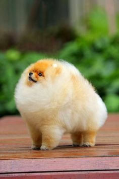 Pomeranian!!! My dog Kisper is a mix of chiwawa and Pomeranian.