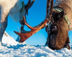 Arctic Reindeer is an important part of the Nenets life
