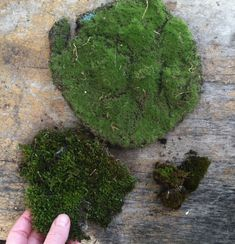 Moss is a central supply for many popular gardening crafts, including terrariums, fairy gardens, kokedama and more. When do you need to use living moss for your craft and when will craft moss work? Fairy Garden Plants, Mini Fairy Garden, Moss Garden, Garden Terrarium, Gnome Garden, Terrariums, Fairy Gardening, Succulents Garden, Garden Pots