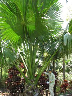 http://jungletropicale.com/2013/04/corypha-umbraculifera/