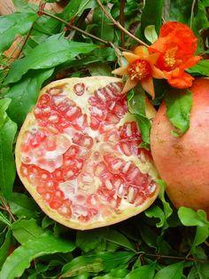 Fruit et fleur; pomegranate
