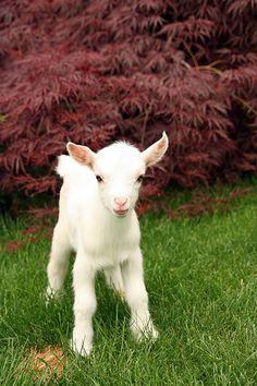 Nigerian Dwarf Goat | Flickr - Photo Sharing!