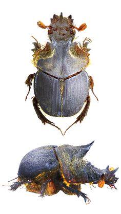 Athyreus parvus