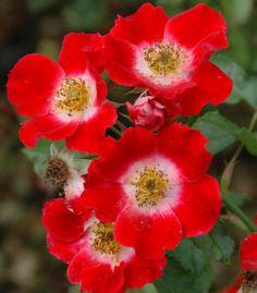 five petals of a single rose, posted via gardenseeker.com