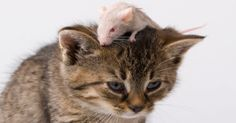 10 Strange Experiments That Mashed Cats And Mice Together