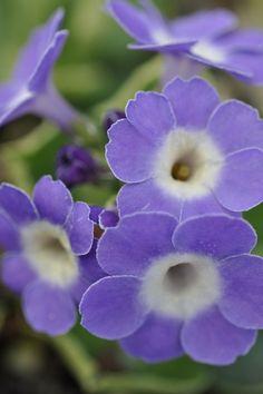 Primula Wharfedale Flowers Garden Love