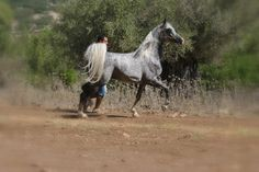 A.A Asil Al Jamal - Egyptian Sired 2009 Stallion Champion Stallion sired by Nader Al Jamal Out of W.Asia by WH Weston Owned by Rezk and Amir- Shfaram  Israel