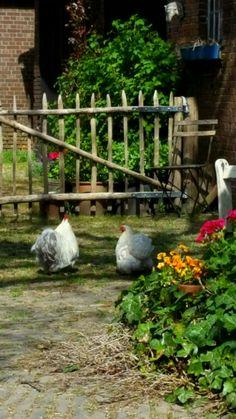 Keeping Chickens, Raising Chickens, Hens And Chicks, Baby Chicks, Happy Animals, Farm Animals, Suffolk Sheep, The Barnyard, Chicken Art