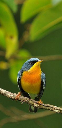 Pretty Birds, Love Birds, Beautiful Birds, Animals Beautiful, Exotic Birds, Colorful Birds, Animals And Pets, Cute Animals, World Birds