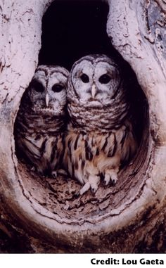 gorgeous barred owls