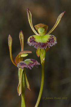 Fringed-Hare Orchid, Leporella fimbriata, The Pines FFR, Victoria, Australia - Flickr - Photo Sharing!