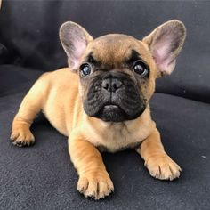 French Bulldog Puppy ❤️❤️❤️