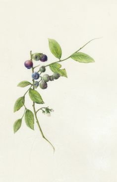 blue berries on vellum by Connie Scanlon