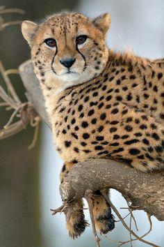 Beautiful Cheetah on tree (by Steve Tracy Photography)