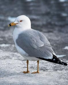 Ring-billed Gull (Larus delawarensis) - near lakes, rivers or coast in Canada & northern USA Animals And Pets, Cute Animals, Shorebirds, Am Meer, Bird Pictures, Sea Birds, Beach Scenes, Gull, Bird Watching