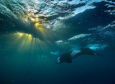 www.pegasebuzz.com | Orca, orque, killer whale, black fish, Norway, by Audun Rikardsen.