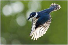 Kingfisher  -  Flickr