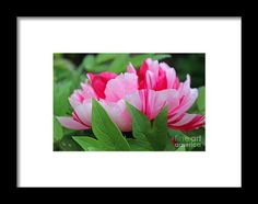 peony, pink, flower, bloom, blossom, nature, michiale, schneider, photography