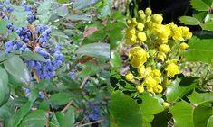 Mahonia aquifolium, native with deep roots.  Perfect for slope behind house.  Likes shade and part shade.