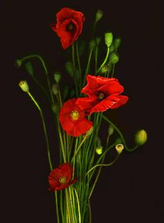 Red Shirley Poppies by Barbara Wyeth