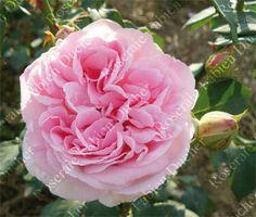 rosier Souvenir de Madame Auguste Charles