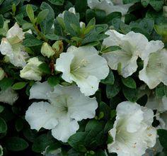 Azalea 'Gumpo White' (Satsuki hybrid)