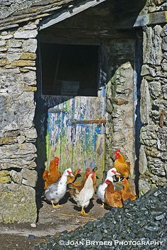Ducks and chickens, Yorkshire Dales farmyard