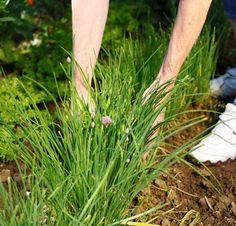 Ciboulette : plantation, entretien et récolte Plus