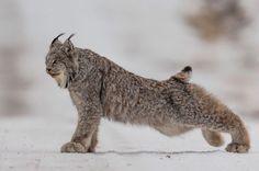 Magnificent lynx.