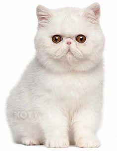 Kot Perski i Egzotyczny Biały – Rasowe Koty Domowe