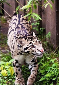 Clouded leopard (Neofelis nebulosa, Levhart oblackovy) from ZOO Usti nad Labem, Usti nad Labem, Czech republic actual photo: I offer you ANIMAL PHOTO CA. Big Cats, Crazy Cats, Cool Cats, Cats And Kittens, Siamese Cats, Animals And Pets, Baby Animals, Cute Animals, Wild Animals