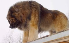 Leonberger Dog - A mix of Newfie, Longhaired Saint Bernard, and Great Pyrenees. Bred By The German City, Leonberg, To Resemble The Lion On Their Coat Of Arms. Intimidating Looking Dog, But Is A Gentle Giant! Beautiful!