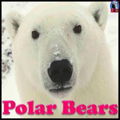 Polar Bears PPT: Interesting and fun facts all about polar bears. Learn about polar bears in this nonfiction resource for teachers, students, and parents! Polar Bear Face, Polar Bears, Teddy Bears, Bear Cubs, Polaroid, Polar Animals, Bear Photos, Bear Pictures, Elementary Science