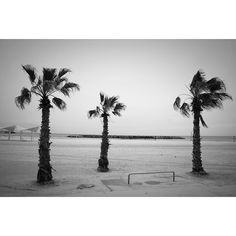 """""""Palmthrees - taken at the beach in #Herzlia Pituach."""" Photo taken by @actuallymt on Instagram, pinned via the InstaPin iOS App! http://www.instapinapp.com (02/16/2015)"""