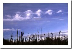 Cattails below and Kelvin-Helmholtz wave clouds above - the clouds are formed by wind shear and any planes flying nearby would likely feel a few moderate bumps of turbulence.   Location: CO, Jim Hamm Nature area, Longmont Date: May 1996