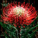 Leucospermum (Pincushions)  The 48 species are indigenous mainly to the Western Cape but the genus is also found in Eastern Cape, KwaZulu-Natal and Zimbabwe.