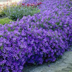"""Campanula Portenschlagiana Blue Clips Campanula, Quickly Fills a Sunny Border Edge with Color! A profusion of flowers covers this low-growing perennial. Multiplies rapidly. Ideal for edging a sunny border. Space 12"""" apart. Reaches heights of 8-12"""" tall. Flowers from late spring until midsummer."""
