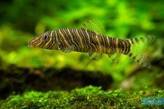 Pez Botia, Paludarium, Freshwater Aquarium, Fish Tank, Terrarium, Fresh Water, Animals, Pretty Fish, Tropical Fish