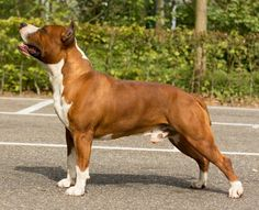 Amstaff Amstaff Terrier, Terrier Dogs, Pitbull Terrier, Bull Terriers, American Staffordshire, Staffordshire Terriers, Bulldog Breeds, Blue Pits, Pitbull Pictures