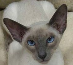 Lilac Point Siamese | the blue point siamese has bluish gray points being their…
