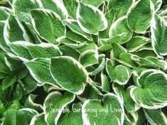 growing hosta the perfect shade plant, flowers, gardening, Some Hosta leaves have beautiful white or cream margins