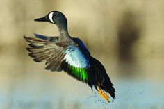 Waterfowl Hunting: Expert Tips to Take More Teal