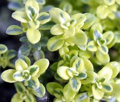 Highland Cream Thyme or T. Harrington silver for corners. V v low growing so have given away most of it to Wyn Thyme Plant, Brick Border, Creeping Thyme, Perennial Bulbs, Dream Garden, Yard Art, Colorful Flowers, Perennials, Outdoor Gardens